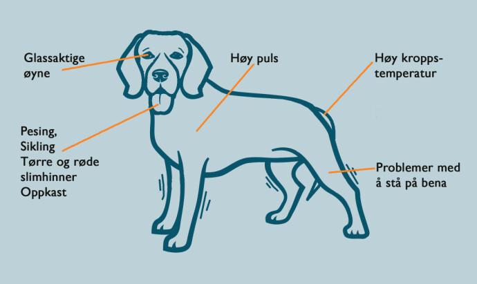 OVEROPPHETET: En overopphetet hund vil fremstå sterkt redusert. Illustrasjon: Øivind Lie-Jacobsen Kilde: VetsNow